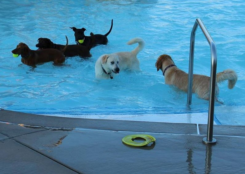 dogs swimming in RiverChase's Outdoor Pool